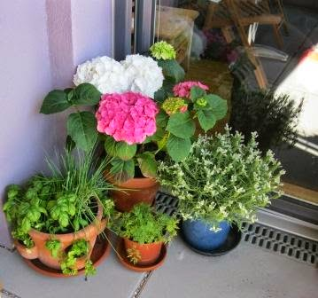 kletterpflanzen balkon schatten