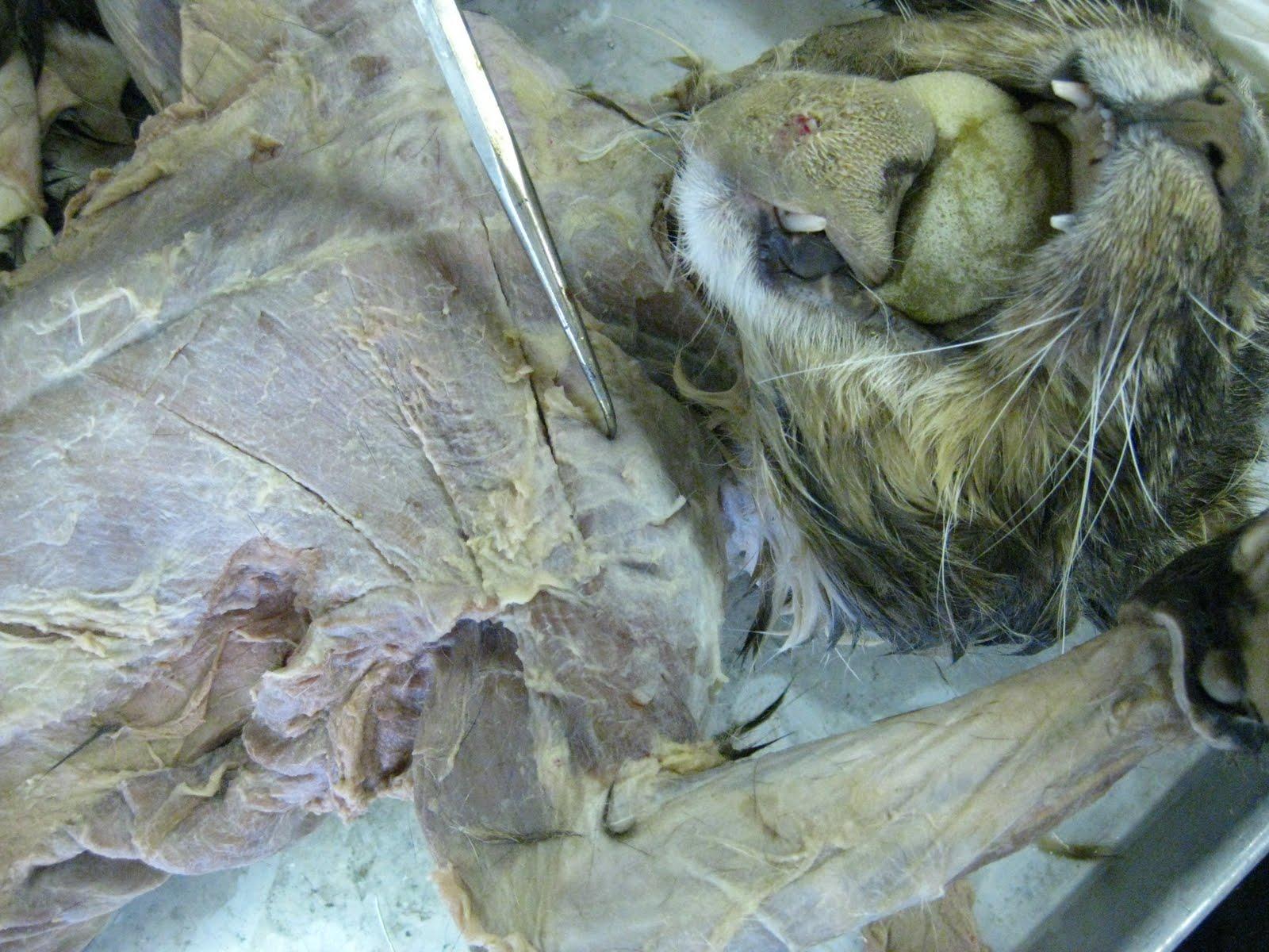 Coracobrachialis Cat Muscle | www.pixshark.com - Images ...
