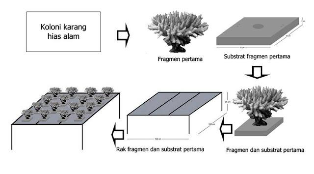 Image result for Transplantasi Terumbu Karang