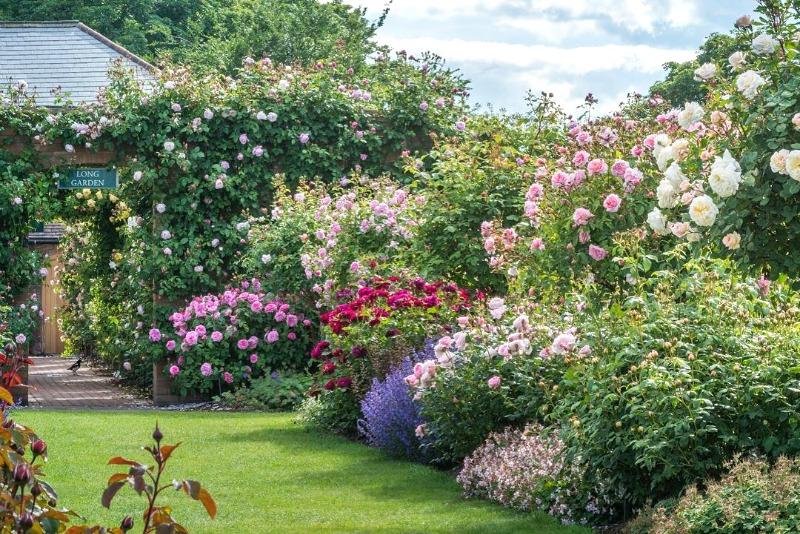 David austin una vida dedicada a las rosas guia de jardin for Jardines murales