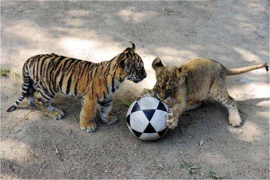 Tiger friends playing foot ball good playes