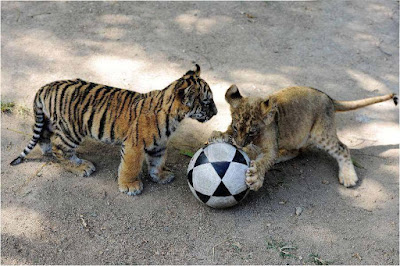 tiger-friends-playing-foot-ball-good-playes