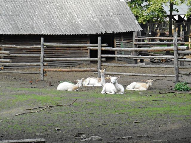 zwierzęta kopytne w zoo, Nowy Tomyśl, wybieg