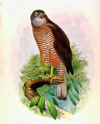 Gavilán de las Fiji Accipiter rufitorques