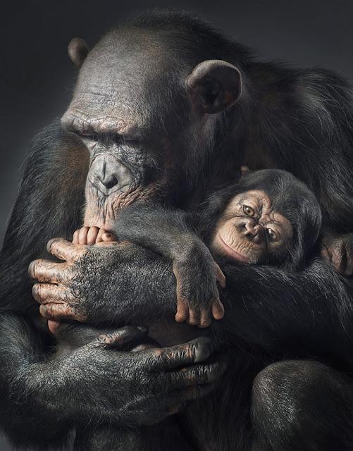 Es un animal con que el que los seres humanos compartimos aproximadamente el 98% de nuestro material genético
