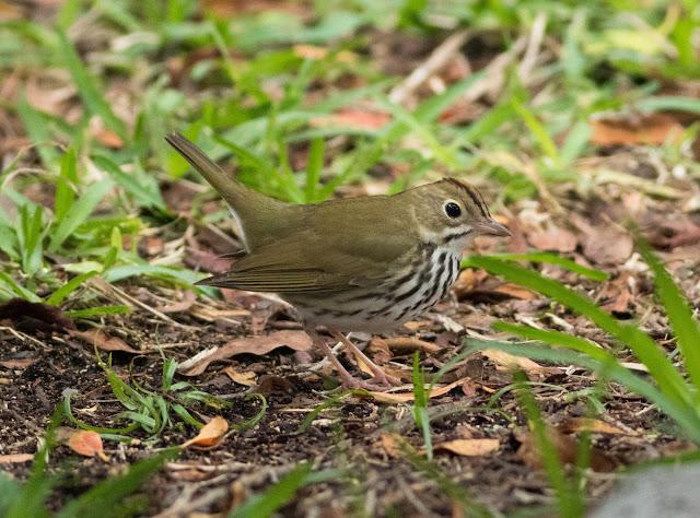 Ovenbird - Dry Tortugas NP, Florida