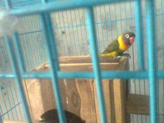 ciri-ciri lovebird olive perso