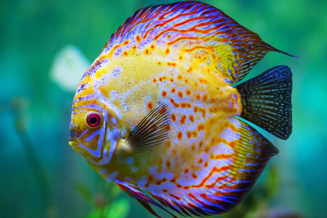 discus colorful fish