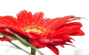 Wallpaper: Red Gerbera