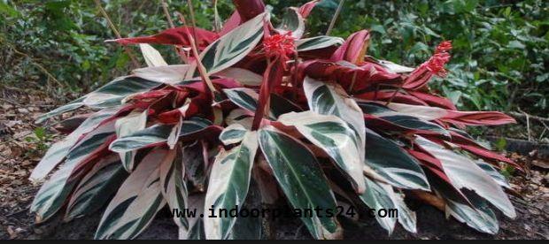 Ctenanthe Oppenheimiana Tricolor Marantaceae PLANT IMAGE