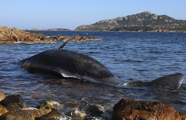 WWF sounds alarm after 22 kilos of plastic found in dead whale