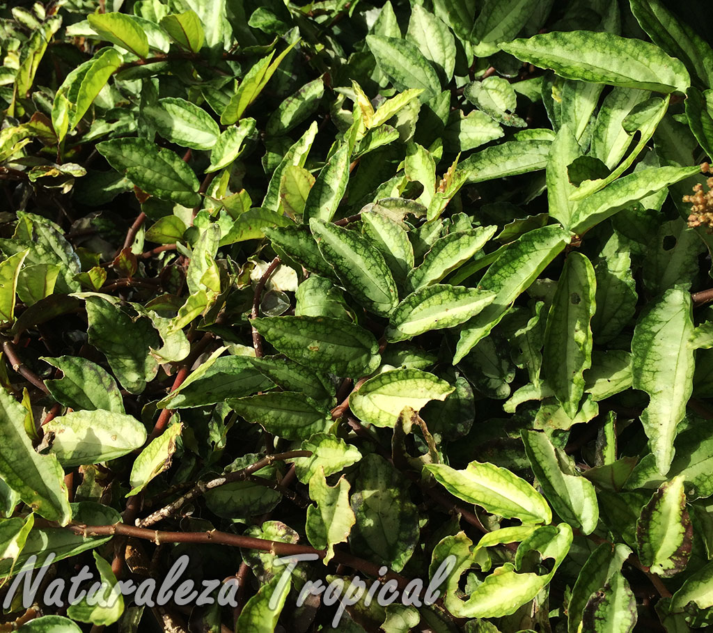 naturaleza tropical la hermosa planta ornamental llamada