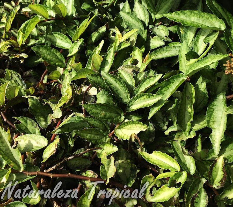 Vista de la planta ornamental llamada Pellionia repens