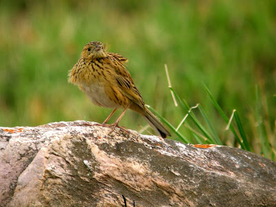 Ochre breasted Pipit