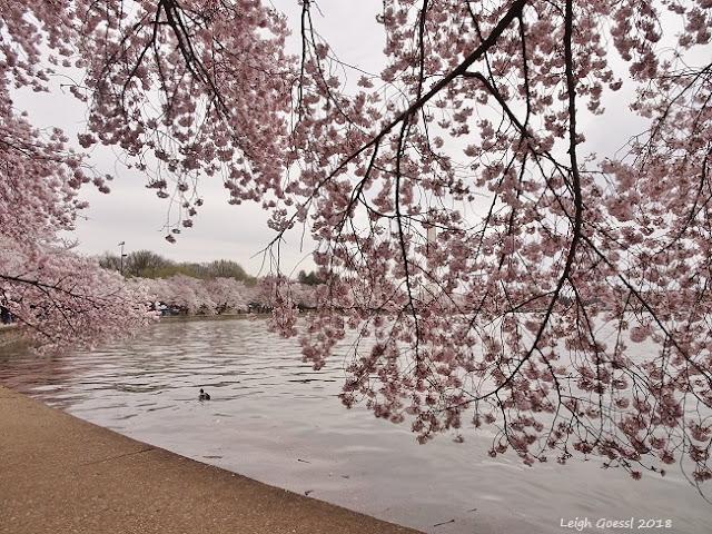 Cherry blossom peaks Tidal Basin 2018
