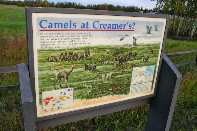 Camels, sloths, cave bears, woolly mammoths in Alaska.