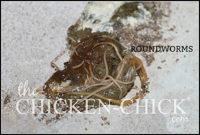 Roundworms in chicken droppings.  www.The-Chicken-Chick.com