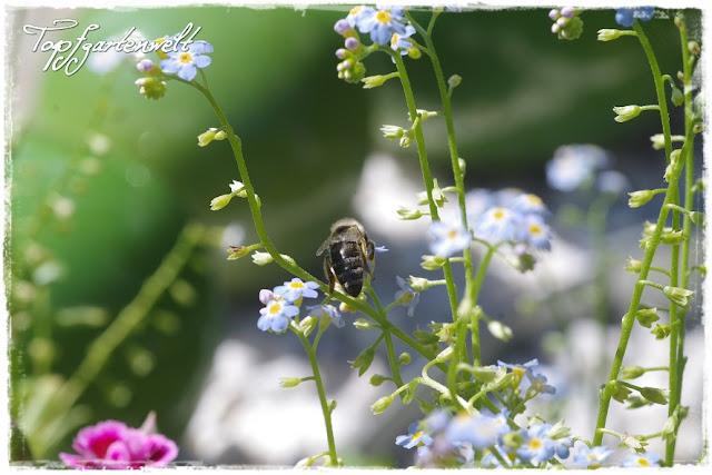 Sumpfvergissmeinnicht mit Biene
