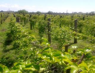 Maracujá renova esperança de agricultores que perderam coqueirais por conta da seca, na PB