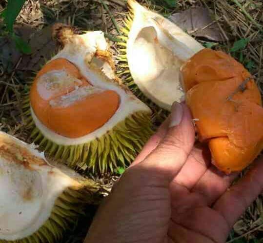 Buah Durian Lai Khas Kalimantan