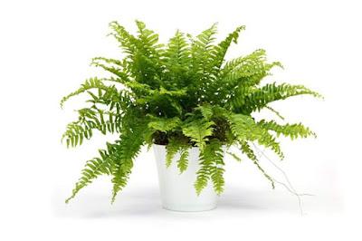tanaman bersihkan udara dalam rumah, tanaman bermanfaat, pokok elok ditanam dalam rumah, pokok hiasan terbaik, pokok hiasan dalam rumah