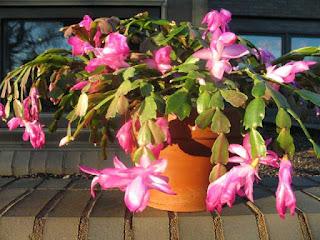 Hanging Basket Cactus Plants by Kurt M. Jones, Chaffee County Extension Director
