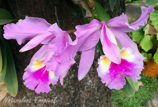 Flor de una orquídea Cattleya sp