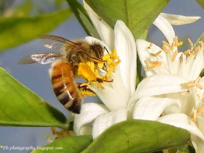 Honey Bee on Orange Blossoms
