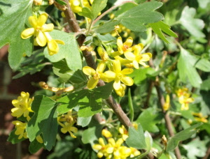 Raw edible plants buffalo currant ribes odoratum buffalo currant r odoratum flowers mightylinksfo