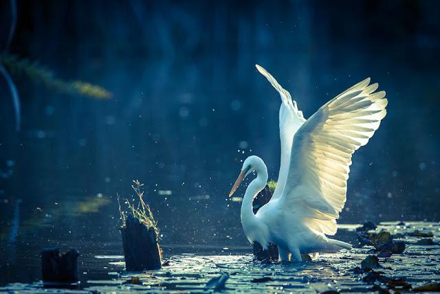 طائر البلشون الأبيض IMG_8433-2-57a99386be73f__880
