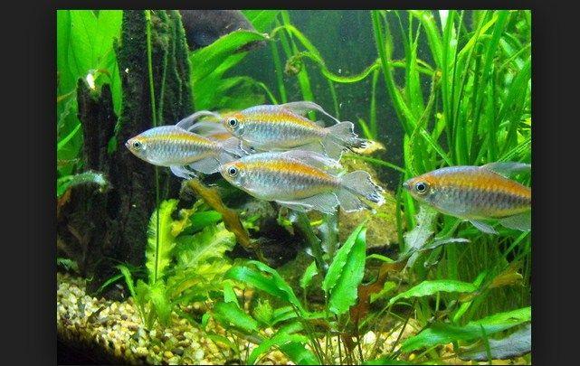 Makanan ikan congo tetra