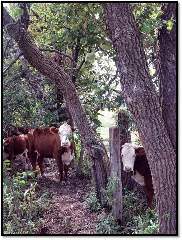 Maryland Hereford Cattle - Grass Fed
