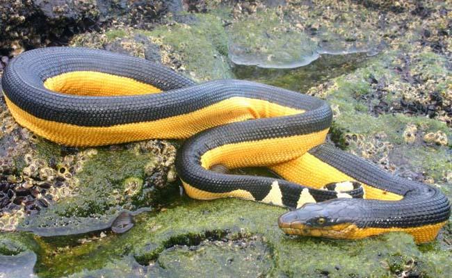 Ular laut perut kuning (Hydrophis platurus)