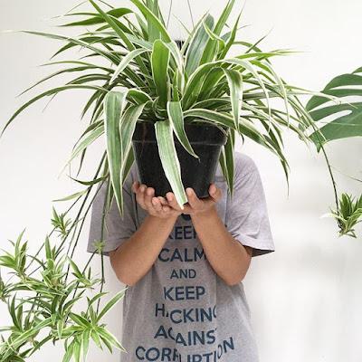 Pajęcza roślina