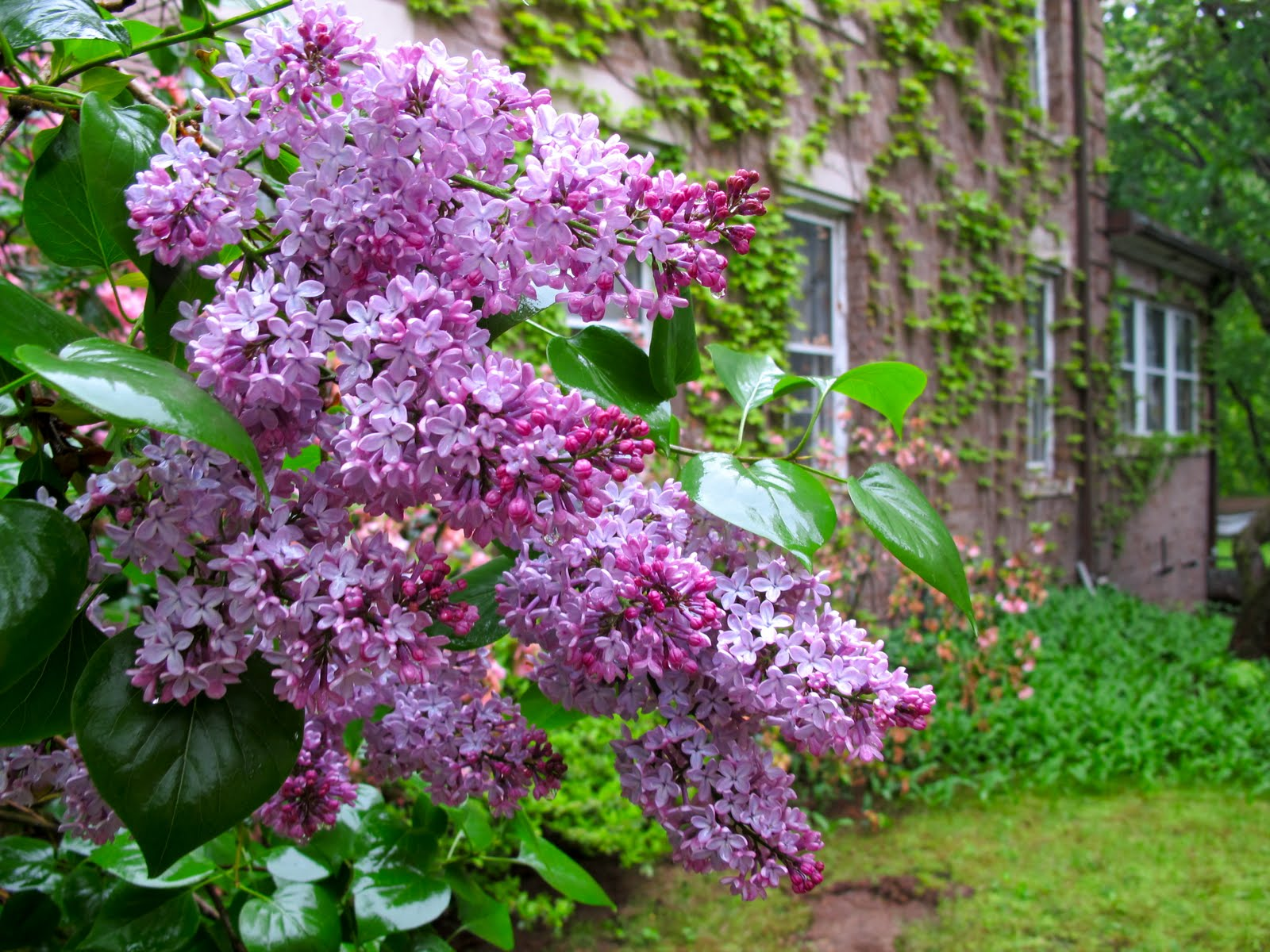 Jenny Steffens Hobick Flashback Lilac Season Mr