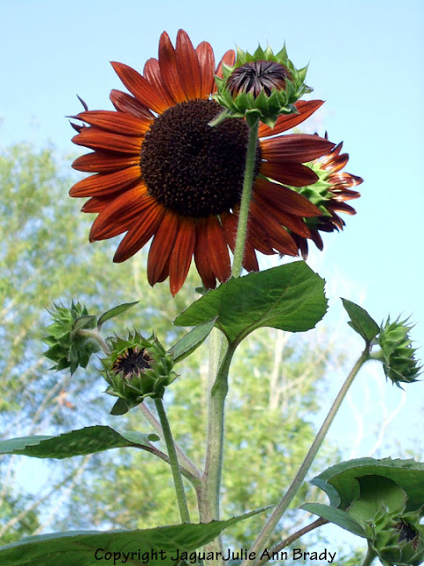 Magnificent Autumn Beauty Sunflower Reaching for the Sky
