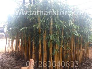 Pohon bambu kuning murah