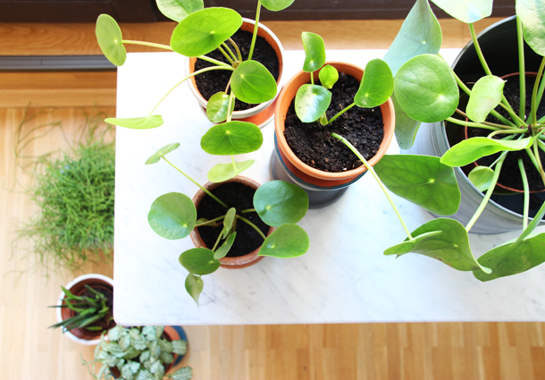 binedoro Blog, Pilea, Zimmerpflanze, Ableger, vermehren