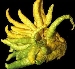 Buah Jeruk Jari Buddha (Citrus medica var. Sarcodactylis)