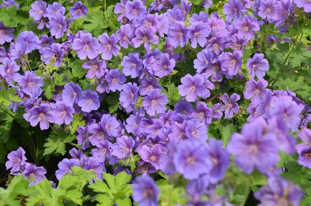 Geranium pratense 'Johnson's Blue' in full bloom