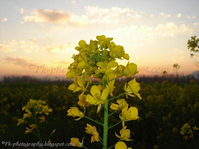 Canola Flowers