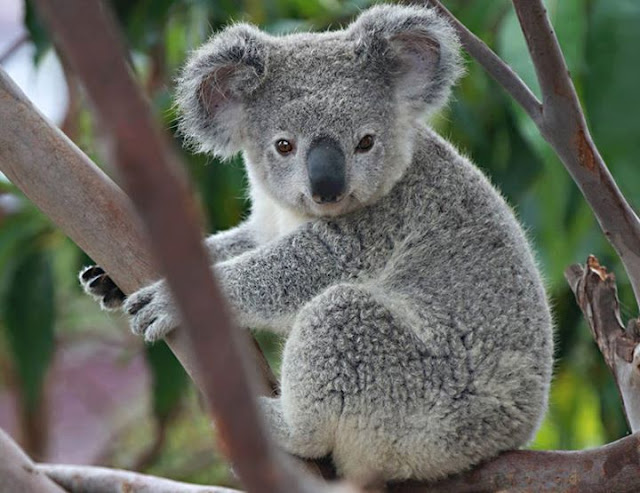 Pictures of Animals, A splendor koalas