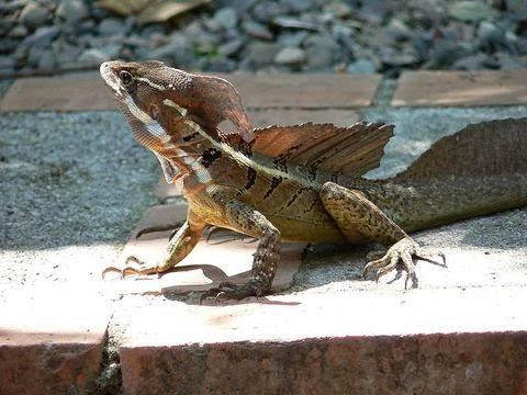 Male Basiliscus basiliscus busking in the sun