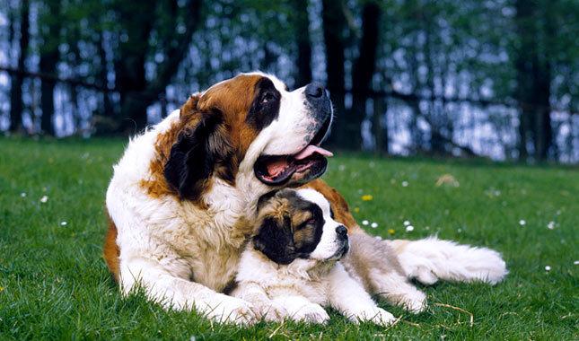 Pets: Biggest Saint Bernard Dogs