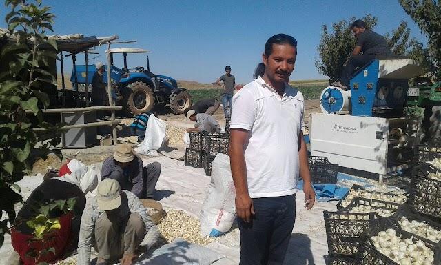 Bozovalı Çiftçinin yeni umudu sarımsak