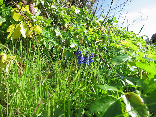 Small group of grape hyacinths growing through grass on bank.