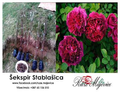 Šekspir ruža stablašica