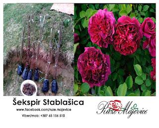 Šekspir ruža (stablašica)
