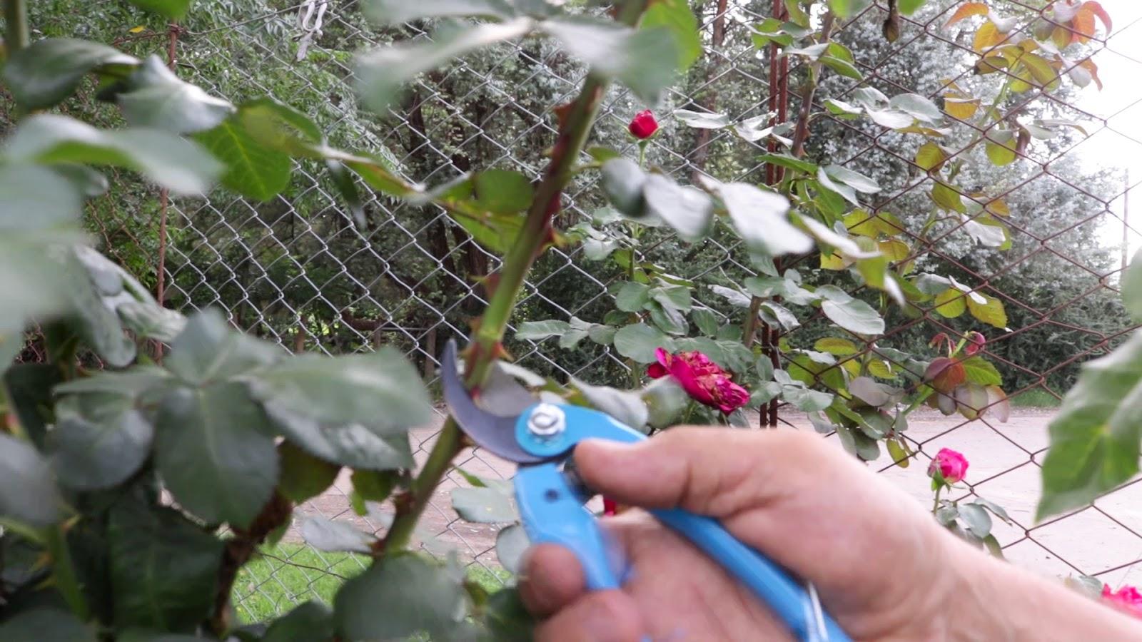 C mo hacer injertos de rosas no es dificil cosas del - Cosas del jardin ...