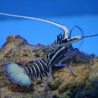 http://www.allfiveoceans.com/2016/09/painted-rock-lobster-panulirus-versicolor.html